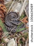 Small photo of Young adder snake