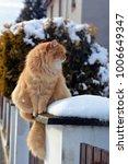 Siberian Cat In Winter