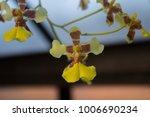 Dancing Lady Orchid  Oncidium...