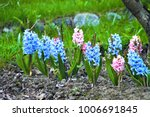 Background Hyacinths Flowering...