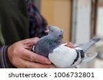 pigeon in the hands of breeders | Shutterstock . vector #1006732801