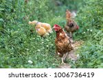 hens feed on the traditional... | Shutterstock . vector #1006736419