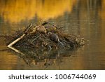 Small photo of American Beaver (Castor canadensis)
