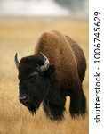 Small photo of American Bison (Bison bison) Grand Teton & Yellowstone NPs, Wyoming, USA