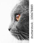 Stock photo british blue cat detail 100678885