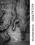 Small photo of Crocodiles for sale at Tonle Sap Lake