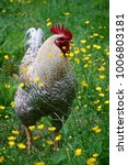 Small photo of Scots Dumpy cock in a field with yellow wildflowers. The Scots Dumpy is a breed of chicken from Scotland.