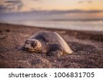 olive turtle  pacific coast of... | Shutterstock . vector #1006831705