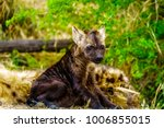 juvenile hyena in kruger... | Shutterstock . vector #1006855015