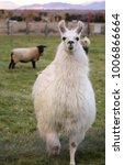 hungry llama approaching | Shutterstock . vector #1006866664