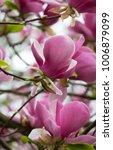 Small photo of Beautiful bold fruit like pink Magnolia blossom