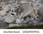 raccoon gargle on the morning... | Shutterstock . vector #1006904941