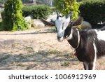 big white goat in the farm  | Shutterstock . vector #1006912969