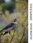 noisy myna bird in shrub | Shutterstock . vector #1006915321