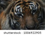 close up image of the tiger... | Shutterstock . vector #1006922905