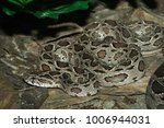 snake in forest  wild animals | Shutterstock . vector #1006944031