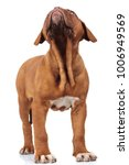 curious little french mastiff... | Shutterstock . vector #1006949569