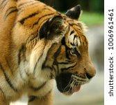 the malayan tiger  panthera... | Shutterstock . vector #1006961461
