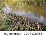beaver's dam made from lots of... | Shutterstock . vector #1007118055