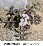 flower growing in the hot sand... | Shutterstock . vector #1007120971