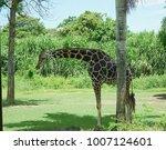 giraffe in bali  safari in bali ... | Shutterstock . vector #1007124601