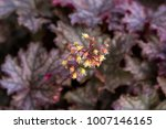 Small photo of Flower of Coral Bells Alumroot, ornamental plants with dark purple foliage, selective focus with blurred background (Heuchera)