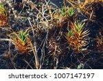 restinga  a brazilian coastal... | Shutterstock . vector #1007147197