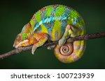 A Ambilobe Panther Chameleon I...