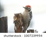Ladder Backed Woodpecker In Snow