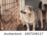 cute dog caught by hingheri who ... | Shutterstock . vector #1007248117