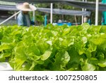 Small photo of Raw Green Salad Lettuce Growing in Plastic Pipe in Hydroponics Organic Agriculture Farm System as Modern Agro industrial Farming.