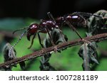 Small photo of World's Most Painful Insect Bullet Ant named for its extremely potent sting (Paraponera clavata) from Costa Rica