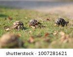 kid african spured tortoise and ... | Shutterstock . vector #1007281621