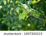 beautiful and fresh black... | Shutterstock . vector #1007303215
