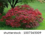 Small photo of Acer japonicum Ornamental plant in the garden