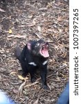 Small photo of Tasmanian Devil, a small carnivorous marsupial, crying, in Tasmania, Australia
