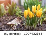 yellow blooming crocuses with... | Shutterstock . vector #1007432965