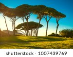 Maritime Pine Tree Group Near...