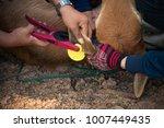 farmers puts ear plastic tags... | Shutterstock . vector #1007449435