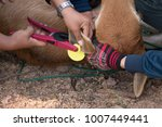 farmers puts ear plastic tags... | Shutterstock . vector #1007449441