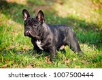 the cute french bulldog in... | Shutterstock . vector #1007500444
