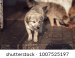 cute dog caught by hingheri who ... | Shutterstock . vector #1007525197