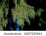 Small photo of Yellow Nootka Cypress, Alaska Cedar (Cupressus nootkatensis) branch with needles and flowers