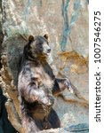 Small photo of Kodiak Bear standing and scratching his back