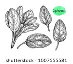 ink sketch of spinach. isolated ... | Shutterstock .eps vector #1007555581