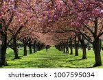 colonnade of cherry blossom... | Shutterstock . vector #1007595034