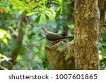 the mountain imperial pigeon ... | Shutterstock . vector #1007601865