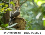 the mountain imperial pigeon ... | Shutterstock . vector #1007601871