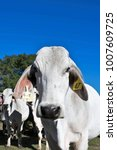 Small photo of Brahma cow close up with Brahma cow herd behind her