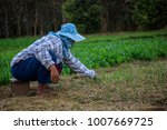 farmer pulling the weeds out in ... | Shutterstock . vector #1007669725
